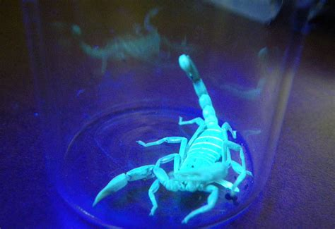 northern scorpion glows under black light what s that bug