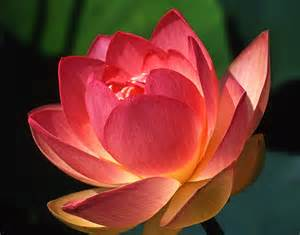Blossom Lotus Lotus Blossom By Jerry Weinstein