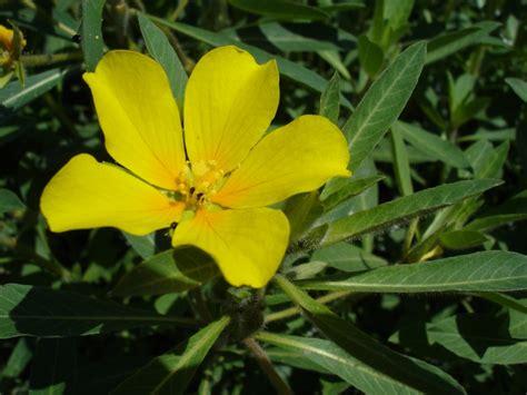 Ludwigia hexapetala - Wikipedia Ludwigia Repens