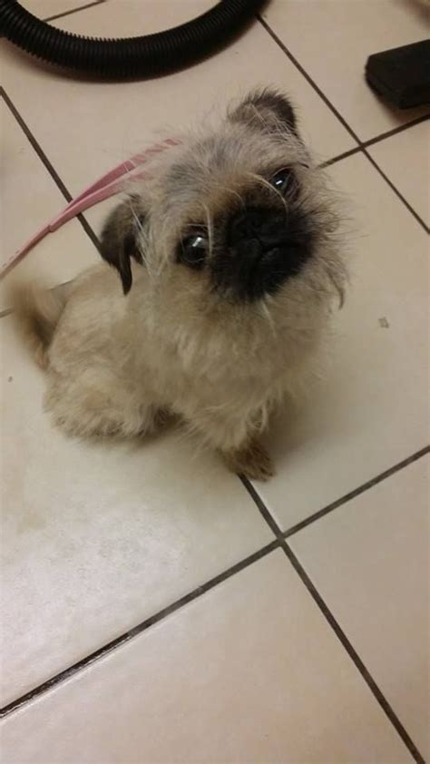 brussels griffon pug mix pug x brussels griffon letchworth garden city hertfordshire pets4homes