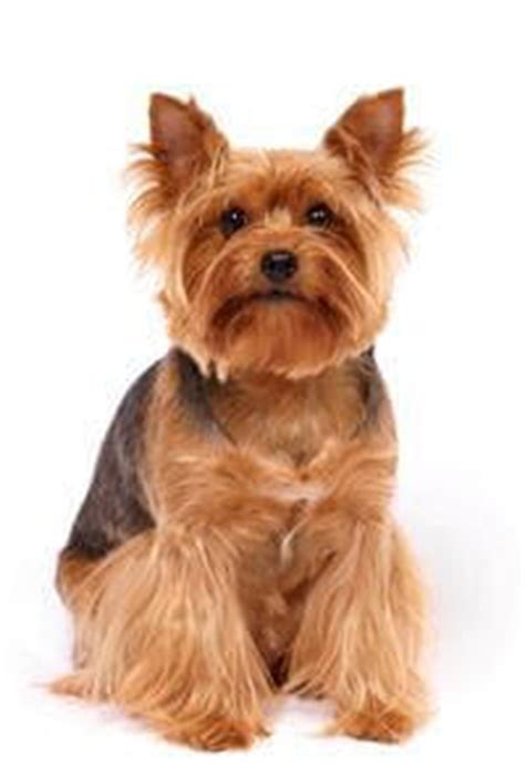 14 year yorkie problems terrier breed selector getting a pedigree uk