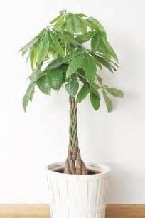 Beautiful House Plants by 25 Best Ideas About Money Plant On Planters