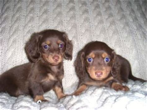 dachshund puppies ohio dachshund puppies in ohio