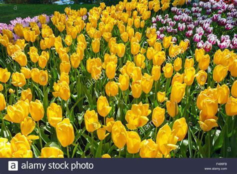 flower garden netherlands keukenhof the world039s largest flower garden in
