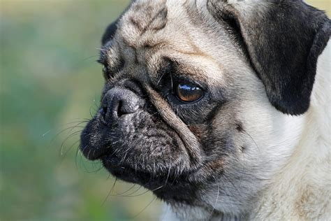 puppy cold symptoms disease colds in dogs symptoms and treatment dogalize