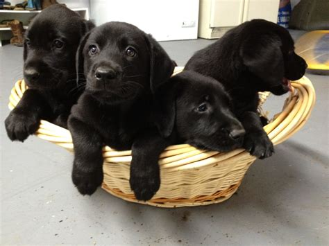 black retriever puppies puppy dogs black labrador retriever puppies