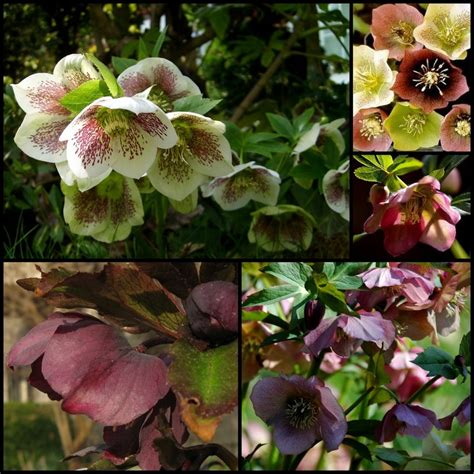 image detail for rose thoroughbred hellebore plants