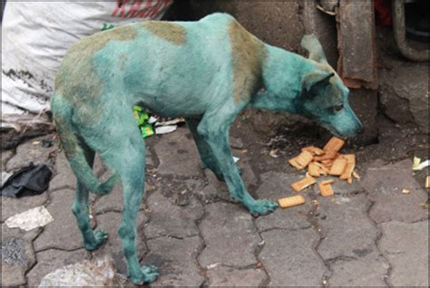 blue dogs india why dogs are turning blue in mumbai