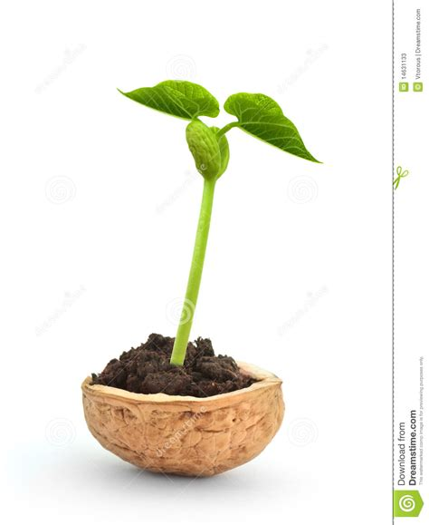 small plant small plant in a nutshell stock photos image 14631133