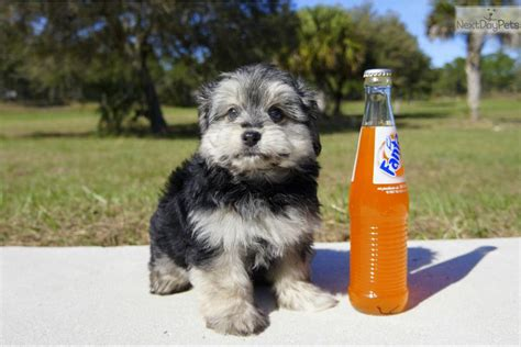 havanese rescue florida meet brent the havanese for adoption in florida