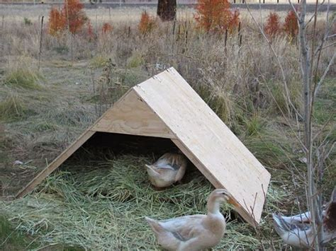 cold weather tips  winter duck care  home duck