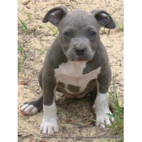 free puppies ocala fl smokin kennels american pit bull terrier breeder in ocala florida
