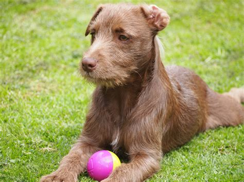 terrier breeds patterdale terrier breed guide learn about the patterdale terrier