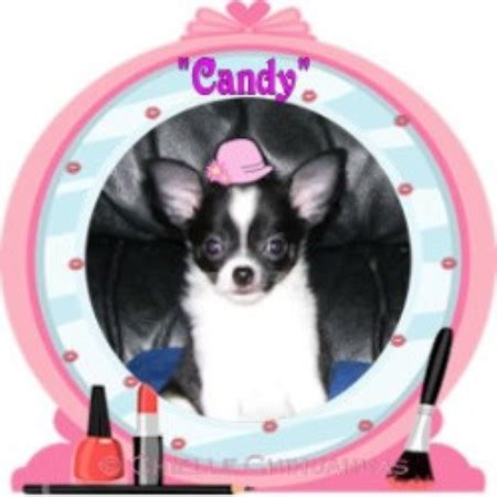 shih tzu breeders in southern california akc haired show quality chihuahuas southern