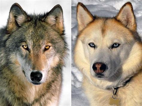 difference between wolves and dogs the world s catalog of ideas