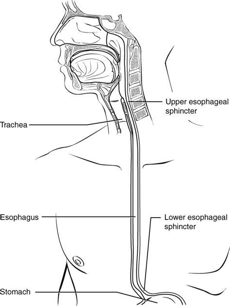 diagram of esophagus schematic of the esophagus schematic get free image