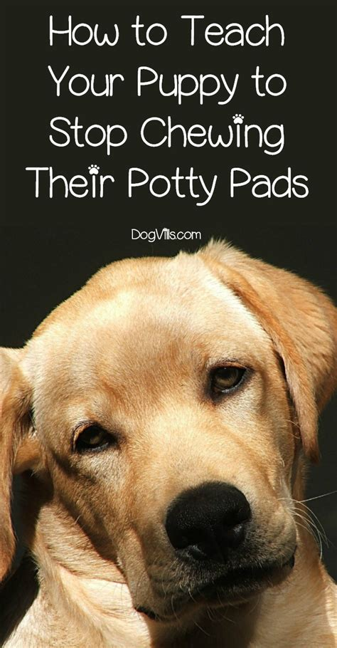 how to your to stop chewing how to teach your puppy to stop chewing their potty pads dogvills