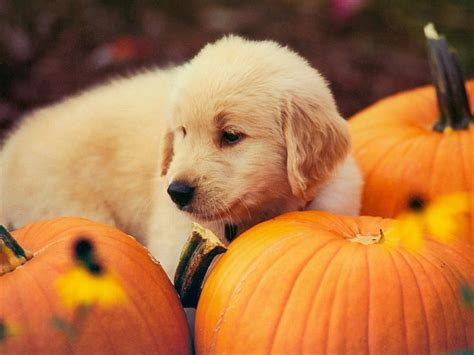 pumpkin and dogs and pumpkin wallpapers 1400x1050 347216