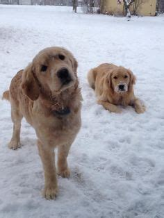 where do golden retrievers originate from golden retrievers on golden retrievers golden retriever puppies and puppys