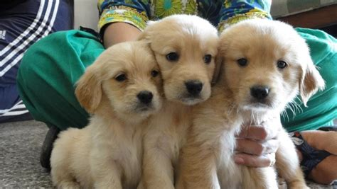 golden retriever price india golden retriever puppy price in india