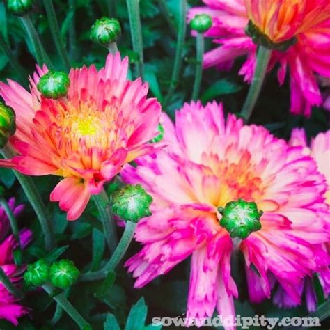how to care for fall mums