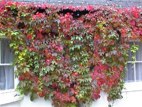 vite americana in vaso parthenocissus quinquefolia sempreverde esiste forum
