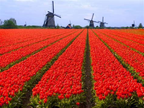 fiori olanda dove vedere i tulipani in olanda
