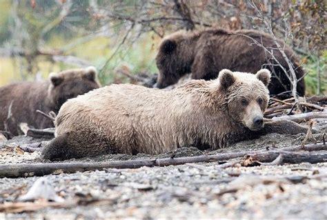 otis  bear katmai images  pinterest alaska