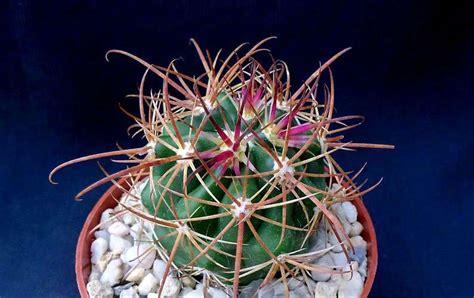 piltz kakteen kakteen piltz your specialist nursery for cacti