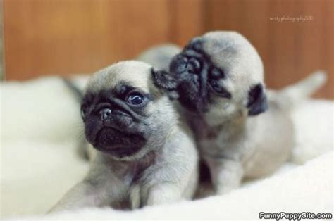 tiny baby pugs baby pug pictures picture to pin on thepinsta