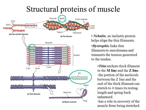 4 proteins of thin filaments the muscular system skeletal tissue and