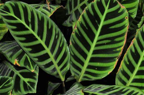 calathea zebrina biopix foto 66803