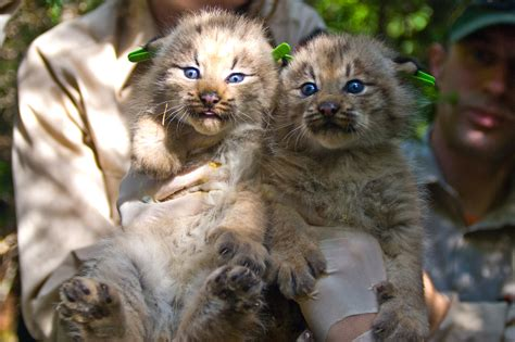 wild cats the canadian lynx kimcion com