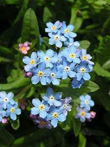 state flower alaska ak state flower list of 50 state floweres of the united states