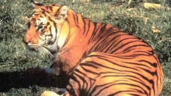 what color is a tiger javan tiger panthera tigris sondaica extinct species