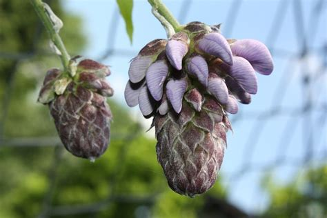 getting wisteria to bloomm wisteria won t bloom how to get wisteria flowers to open up