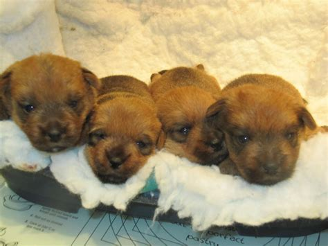 norfolk terrier puppies norfolk terrier puppies telford shropshire pets4homes