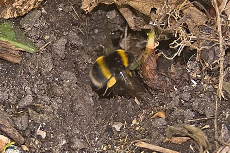 Bumble Bee Nest Shed by 4 Don T Disturb Insect Nests And Hibernation Spots The