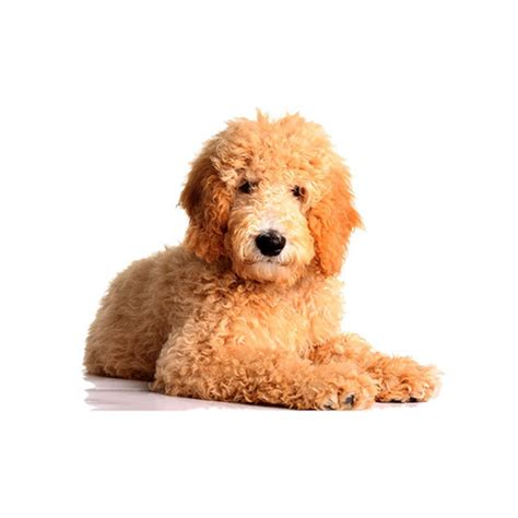 goldendoodle puppy nutrition goldendoodle puppies breed info petland kennesaw