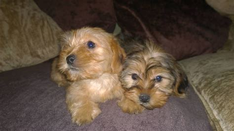 shih tzu or yorkie pictures of shih tzu yorkie mix dogs breeds picture