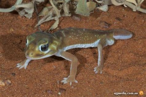Smooth Knob Tailed Gecko by Smooth Knob Tailed Gecko Nephrurus Levis At The
