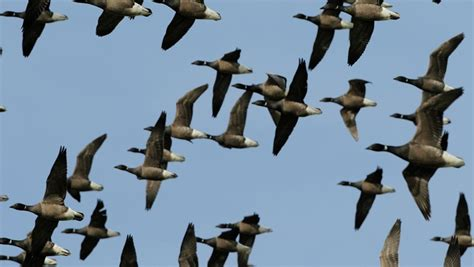 the rspb migration which birds migrate