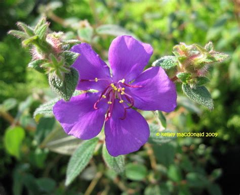 the gallery for gt purple flowering shrub identification - Purple Flowering Shrub Identification