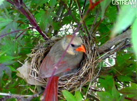 when do cardinals lay eggs northern cardinal nest page 2
