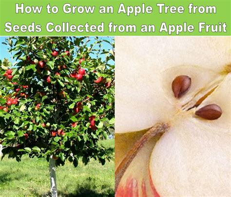 how to grow a fruit tree how to grow an apple tree from seeds collected from an