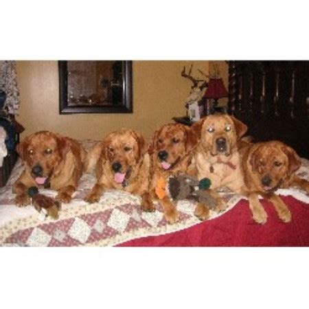 free puppies akron ohio highland labradors labrador retriever breeder in akron ohio