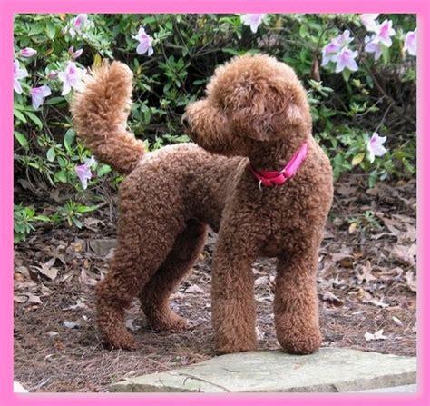 labradoodle puppy cut labradoodle puppy cut hairstyle gallery