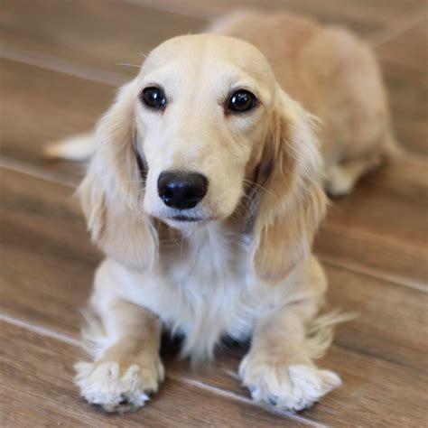 dachshund puppies louisiana miniature dachshund puppies louisiana dogs in our photo