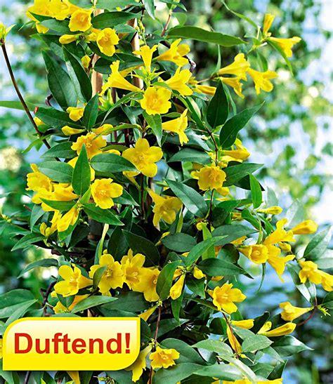 winterharte rankpflanzen gelber duftjasmin kletterpflanzen bei baldur garten