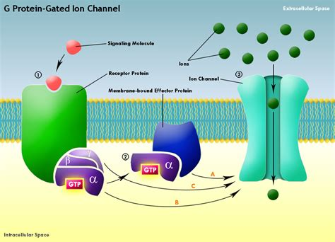 g protein diagram biochemistry is atp synthase a channel or an enzymatic